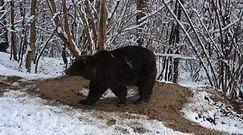 Niedźwiedzica żyła 20 lat w zoo. Tych traumatycznych chwil nie zapomni