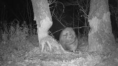 Gryzoń uporał się z drzewem. Nagranie z kamery leśnej