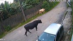 Indie. Wściekły byk atakuje samochód