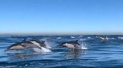 Tysiące delfinów u wybrzeży Kalifornii. Niesamowite nagranie świadka