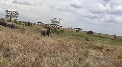 Atak słoni na lwy. Broniły swoich młodych