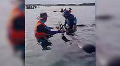 Dramat w Nowej Zelandii. 49 wielorybów utknęło na plaży