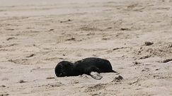 Tysiące martwych fok w Namibii. Morze wyrzuciło je na plażę