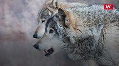 Nadleśnictwo Myślenice. Wilki zagryzły psa. Właściciel ostrzega okolicznych mieszkańców