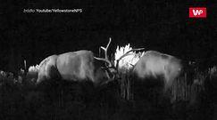 Walka dwóch jeleni o samicę. Brutalne gody w Yellowstone