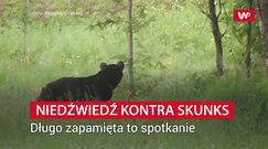 Niedźwiedź kontra skunks. Długo zapamięta to spotkanie