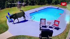 Krowa w basenie. Kuriozalne nagranie z Alabamy