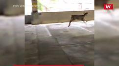 Spotkanie z jeleniem. Skok z garażu na drugim piętrze