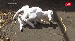 """Koza z siedmioma nogami i """"wieloma płciami"""". Wielkie zaskoczenie w Indonezji"""