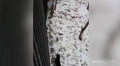 Tygrys i koza żyją w przyjaźni na jednym wybiegu w Zoo
