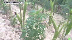 Marihuana w kukurydzy. Policja nie dała wywieść się w pole