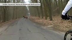 Stado jeleni przecięło drogę rowerzystom