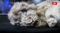 Małe lwy jaskiniowe