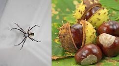 Kasztany pomogą pozbyć się pająków z domu