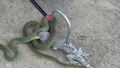 Śmiertelny pojedynek węża z gekonem. Przerażające nagranie
