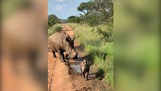 Ciekawski, mały nosorożec. Nagranie niebezpiecznej sytuacji z safari
