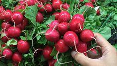 Smaczne i proste przepisy na pasty z rzodkiewki. Wykorzystasz korzeń oraz liście