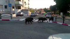 Opanowują miasta. Dzikie zwierzęta w dobie koronawirusa