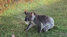 Koala potrzebuje się schłodzić. Nagranie rozczuliło internautów