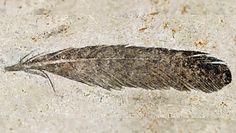 Najstarsze pióro. Naukowcy zidentyfikowali właściciela pióra sprzed 150 mln lat