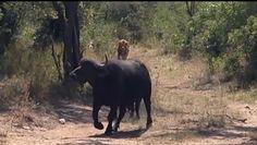 Samica bawoła kontra dwa drapieżniki. Niezwykłe nagranie z safari