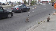 Gęsi na drodze w Kanadzie. Ich zachowanie zaskoczyło kierowców