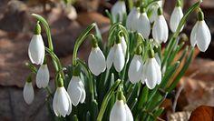 Przebiśniegi już kwitną. Piękne zdjęcia z nadleśnictwa Grodzisk