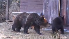 Leśni włamywacze. Niedźwiedzie w czasach kwarantanny
