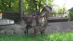 Matczyny instynkt. Koza zaadoptowała sarenkę