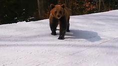 Niedźwiedź na stoku. Narciarze oko w oko z drapieżnikiem