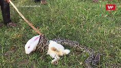 Anakonda zaatakowała królika. Dzieci przybiegły na pomoc