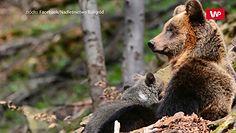 Leśne macierzyństwo. Niedźwiedzie mamy opiekują się młodymi