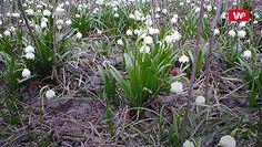 Trujące, wiosenne kwiaty. Od nich lepiej trzymać się z daleka