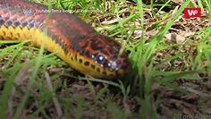 Rzadki wąż tęczowy. Nie widziano go od 50 lat
