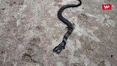 Dwugłowy wąż. Mieszkańcy wierzą, że to bóstwo