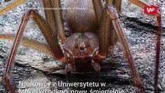 Okryli nowy gatunek pająka. Jego jad jest śmiertelnie niebezpieczny