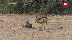 Przerażający film z safari. Świadek od razu zaczął nagrywać