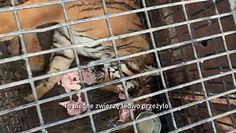 Transport tygrysów. Nagranie obiegło włoskie media