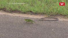 Kameleon kontra wąż. Zobacz, jak to się skończyło