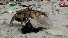 Krab kradnie buty. Zaskakujące nagranie z plaży