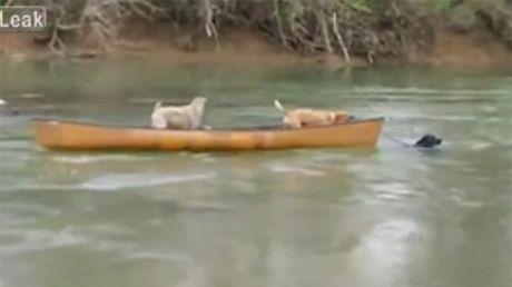 Pies RATUJE dwa psy od utonięcia!
