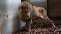 Zaniedbany lew w cyrku. Mieszkał w małej klatce