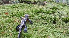 Spotkanie z salamandrą. Wiosenny spacer płaza leśnym mchu.