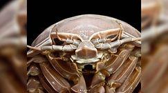 Batynomus raksasa. Naukowcy odkryli u wybrzeży Indonezji gigantycznego równonoga
