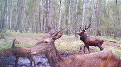 Osamotniony jeleń po rykowisku. Zabawne nagranie z fotopułapki
