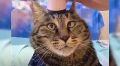 Masaż kota. Właścicielka nie mogła powstrzymać śmiechu