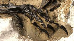 Pierwszy kompletny szkielet tyranozaura trafi do muzeum