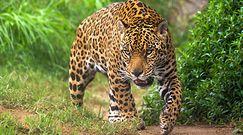 Bezlitosny atak jaguara. Nie uwierzysz, co upolował