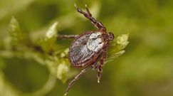 Wraz z wiosną powracają groźne pajęczaki. Uwaga na kleszcze