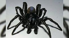 Nowy gatunek jadowitego pająka. Przypadkowo odkryli czarną bestię z Miami